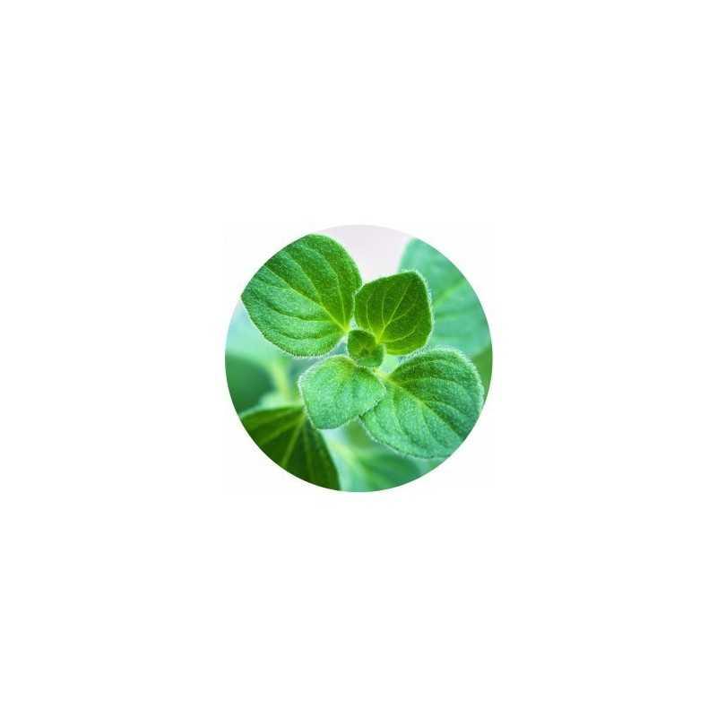 Sprout MATITA in legno CHE SI PIANTA capsula CON SEME di ORIGANO per far crescere una pianta